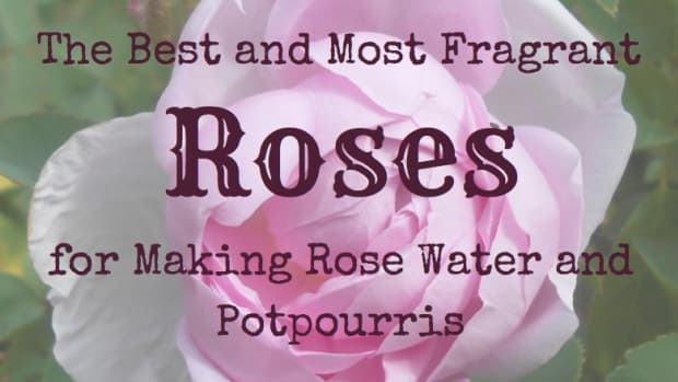 the-best-and-most-fragrant-roses-for-making-rose-water-and-potpourris