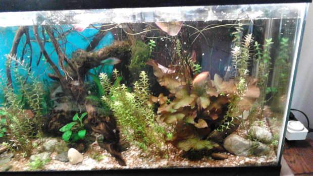 red-tiger-lotus-in-an-aquarium