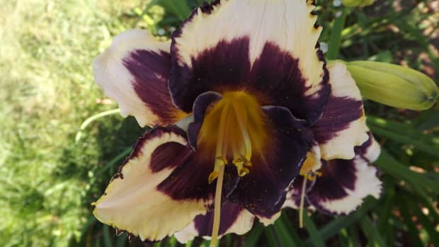 how-to-plant-and-grow-daylilies