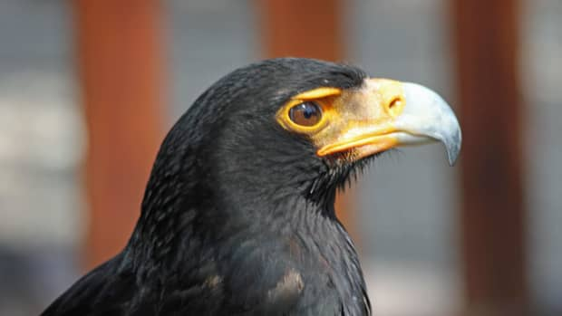 birds-of-prey-the-verreauxs-eagle