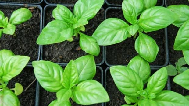 sweet-basil-herb-sabja-or-tukmaria-seeds-and-their-health-benefits
