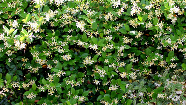 confederate-jasmine-how-to-plant