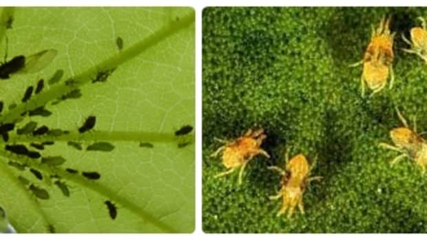 amur-maple-acer-ginnala-facts-uses-pests-and-diseases