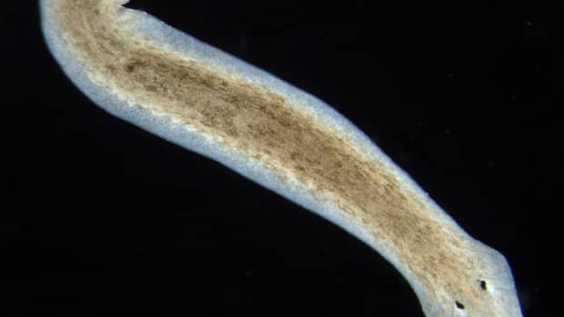 planarians-and-regeneration-facts-and-recent-discoveries