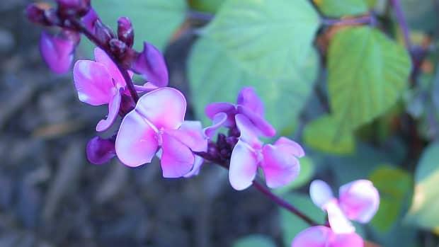 hyacinth-bean-vine