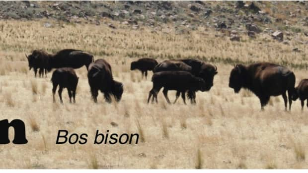 a-look-at-the-american-bison