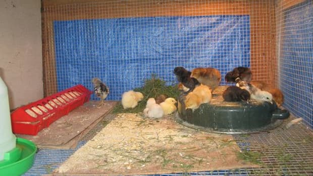best-chickens-for-the-backyard