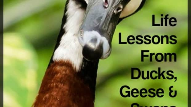 how-to-live-your-best-life-lessons-learned-from-ducks-geese-swans