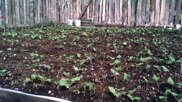 easy-to-grow-bush-green-beans