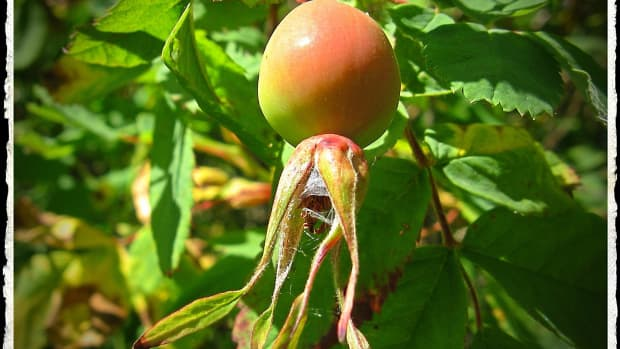 rose-hips-health-benefits-and-interesting-facts