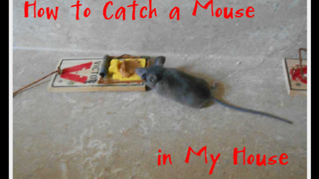 how-to-catch-a-mouse-in-my-house