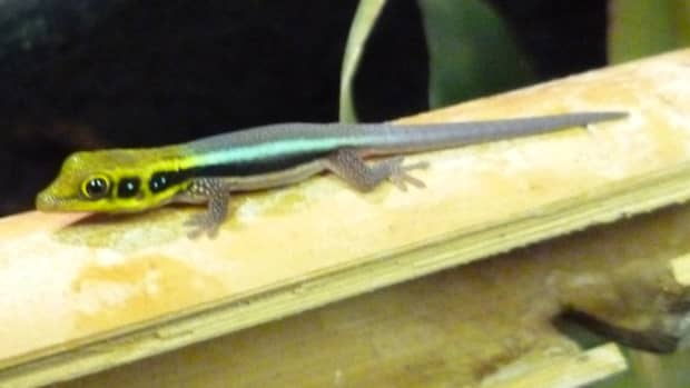 how-to-take-care-of-a-newly-hatched-baby-gecko
