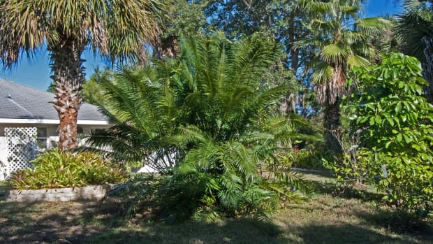 the-compleat-gardener-killing-cycad-scale-with-coffee-grounds