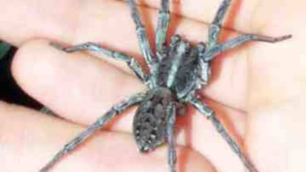 wolf-spiders-poisonous-and-dangerous