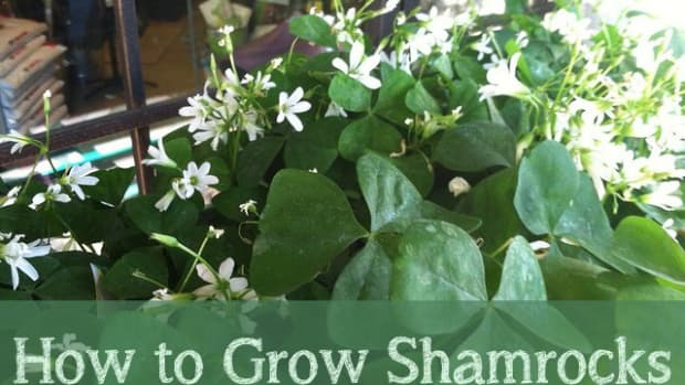 how-to-grow-shamrocks