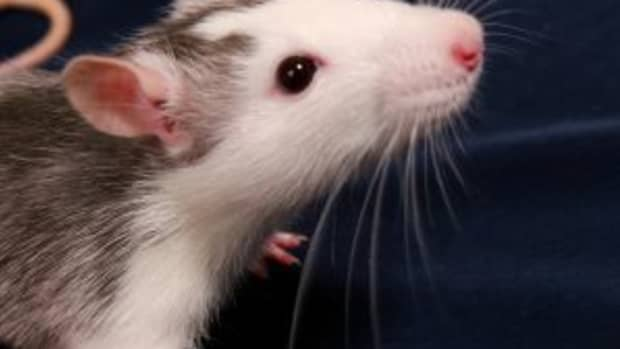 the-pros-and-cons-of-breeding-your-own-rodents-feeders-rats-and-mice