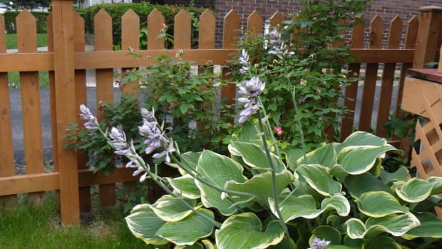 the-gardening-gal-garden-spotlight-hostas-workhorses-of-the-shade-garden