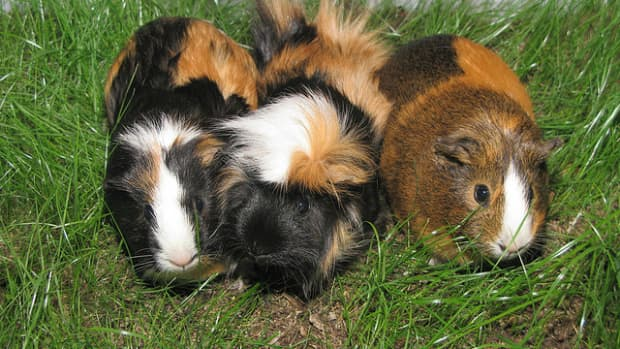 what-to-do-for-an-overheated-guinea-pig