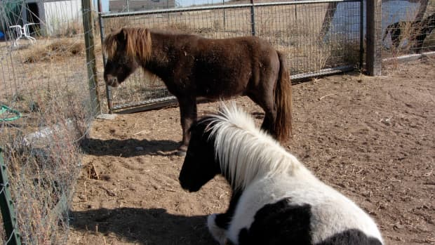 hitching-my-miniature-horse-carts-and-carriages