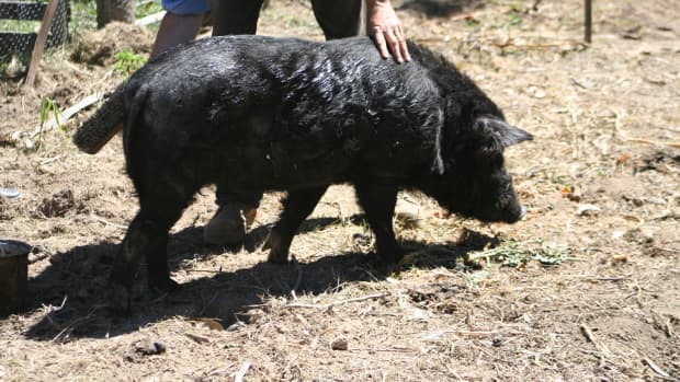 miniature-pigs-living-and-working-on-a-small-farm