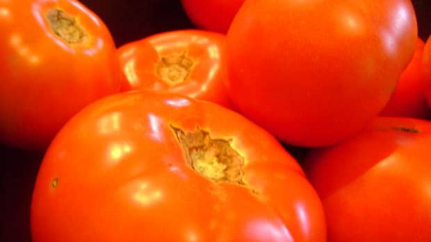 tips-and-tricks-to-pant-and-grow-a-huge-tomato-harvest