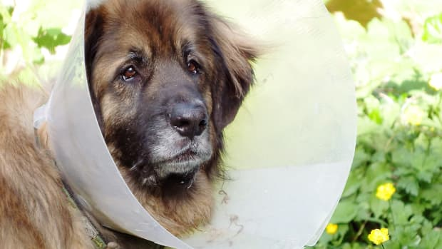 spleen-functions-and-hematoma-in-dogs