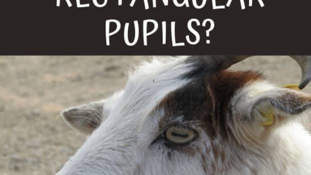 why-do-goats-eyes-have-rectangular-pupils