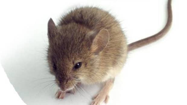 not-bats-in-thebelfry-byt-mice-in-the-rv-what-rv-owners-can-do-to-remove-mice