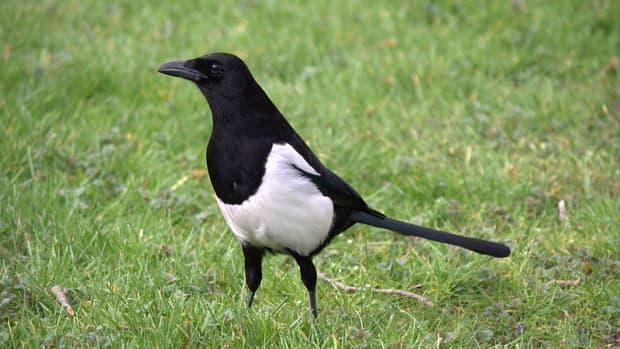 garden-birds-are-magpies-really-bad