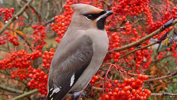 passerine-bird