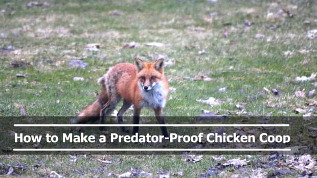 how-to-make-a-predator-proof-chicken-coop