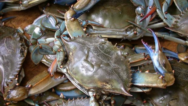 how-to-catch-blue-claw-crabs
