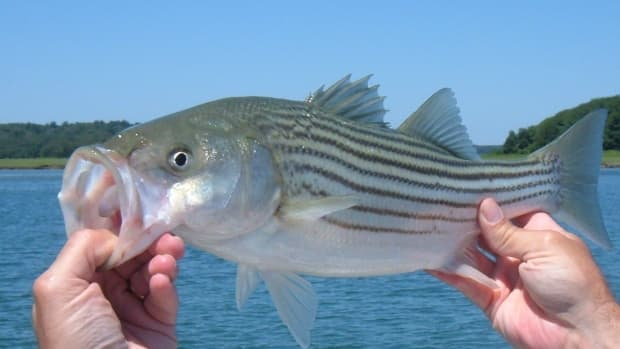 catching-stripers-with-sand-worms