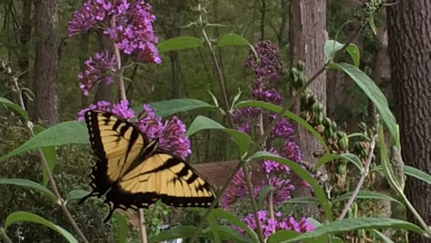 monarch-butterflies-into-the-garden