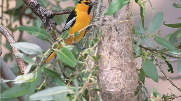 attract-the-oriole-bird-to-western-us-yards-and-parks