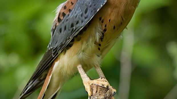 kestrel-nest-box