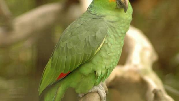 wild-parrots-multiplying-in-southern-california