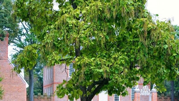 catalpa-tree-facts-and-details