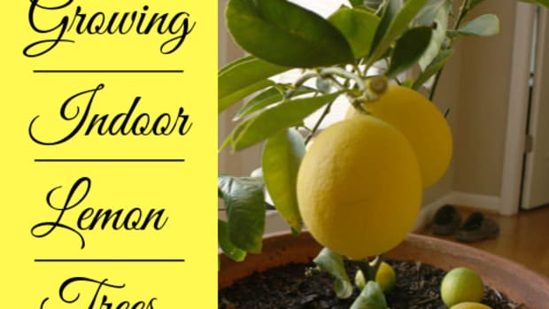 indoor-lemon-trees-2