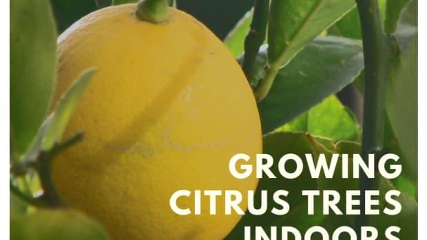 indoorfruittrees