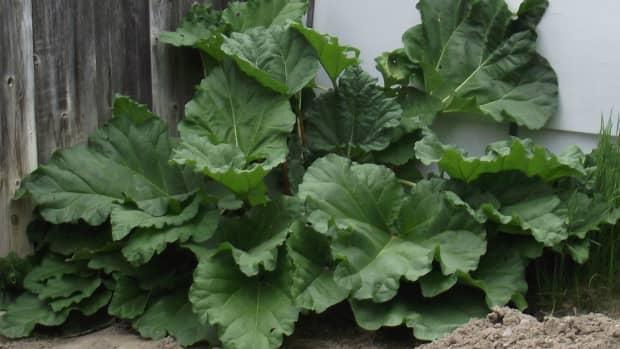 how-to-freeze-rhubarb-2