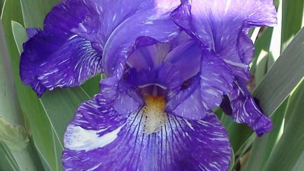 raising-irises