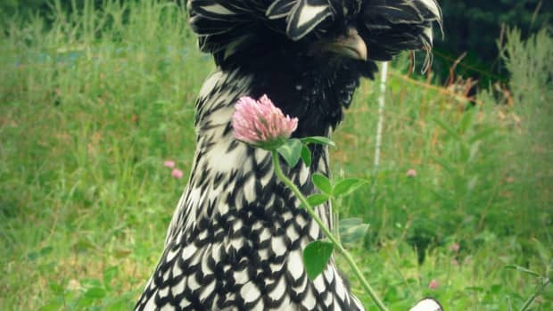 polish-crested-chickens