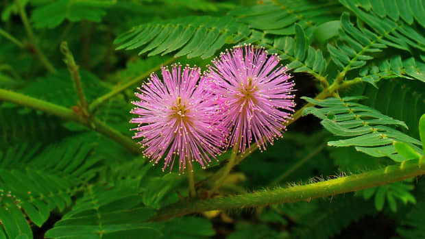 the-touch-sensitive-plants-known-as-mimosa-pudica-or-touch-me-not