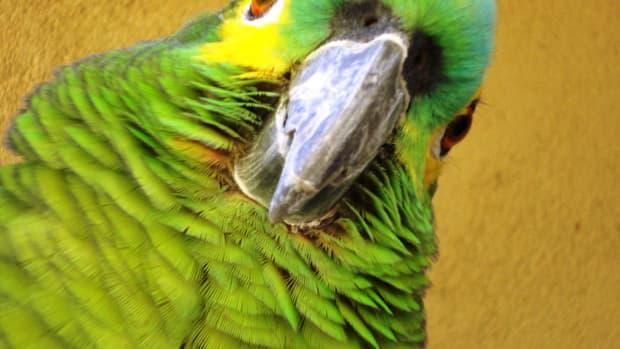 amazons-vs-african-grey-parrots