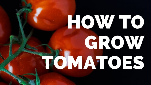 growing-tomatoes-in-the-desert-southwest