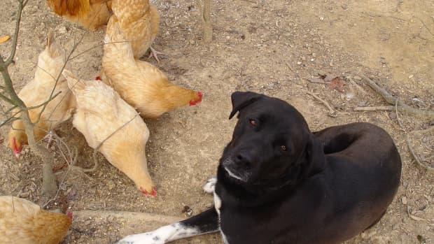 how-to-train-a-dog-to-protect-chickens
