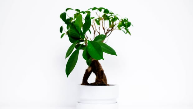 growing-bonsai-trees