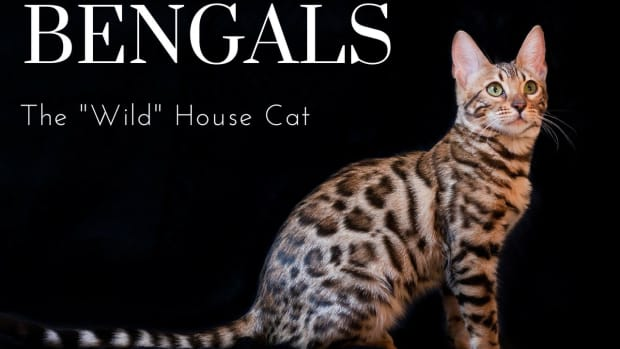 the-joys-and-hazards-of-living-with-a-bengal-cat