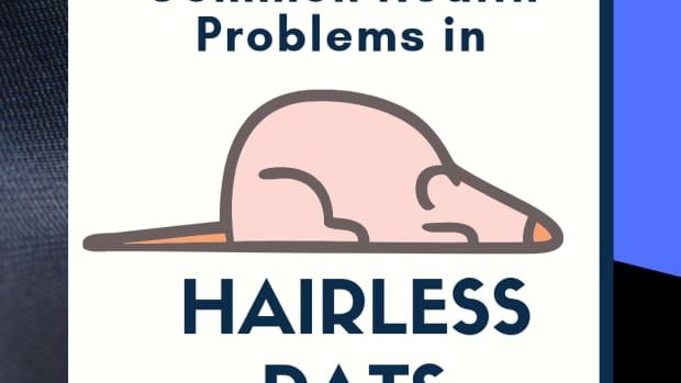 common-furless-rat-health-problems